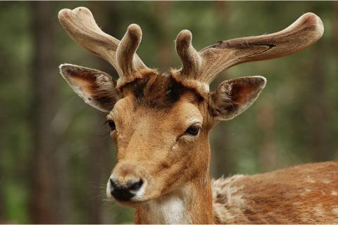 "The stag; the deer. The Dutch for ""the stag; the deer"" is ""het hert""."
