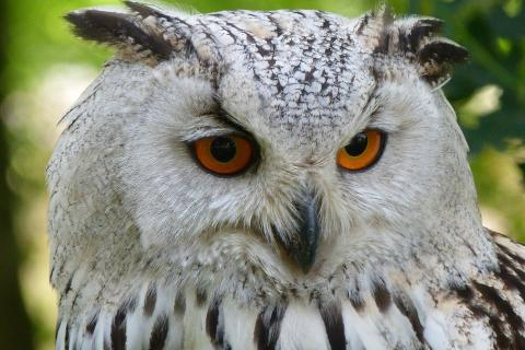 "Owl. The French for ""owl"" is ""hibou""."
