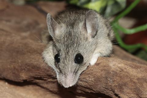 "Mouse. The Hawaiian for ""mouse"" is ""ʻīkeo""."