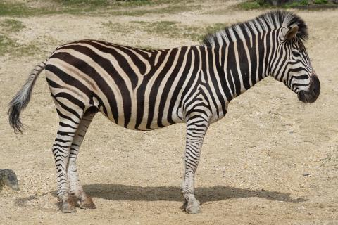 "Zebra. The Thai for ""zebra"" is ""ม้าลาย""."