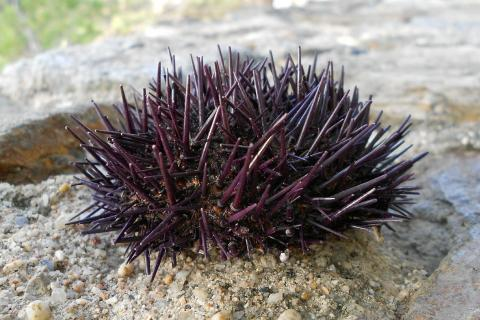 "Sea urchin. The Thai for ""sea urchin"" is ""หอยเม่น""."
