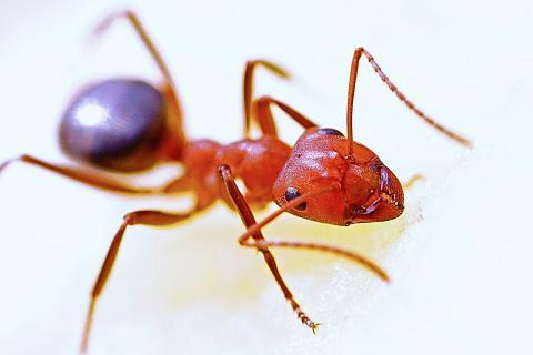 "Red ant. The Thai for ""red ant"" is ""มดแดง""."